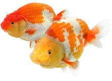 Goldfish capo del leone Fotografia Stock