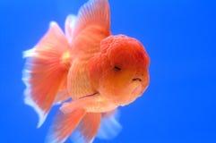 Goldfish capo del leone Immagine Stock Libera da Diritti