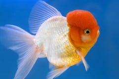 Goldfish capo di Oranda del leone Fotografie Stock