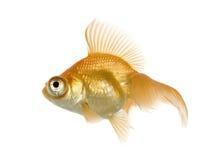 Goldfish - Carassius auratus auratus Stockbild