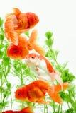 Goldfish carassius auratus background aquatic plants royalty free stock images