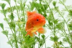 Goldfish carassius auratus background aquatic plants royalty free stock photo