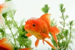 Goldfish carassius auratus background aquatic plants royalty free stock photos