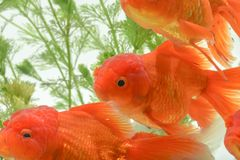 Goldfish carassius auratus background aquatic plants stock photography