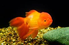 Goldfish, Carassius auratus, Lionhead Stock Photography