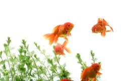 Goldfish carassius auratus background aquatic plants