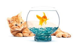 Goldfish and cat Stock Photography
