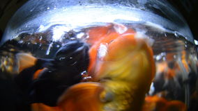 Goldfish catches food stock footage