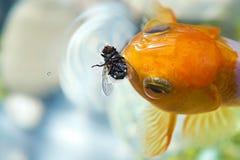 Goldfish che mangia mosca Fotografia Stock Libera da Diritti