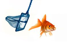 Goldfish che prova ad evit diare essere catturata Immagine Stock