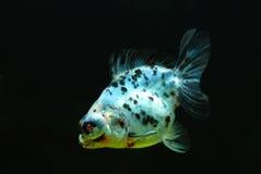Goldfish. Chinese color goldfish in aquarium Royalty Free Stock Photos