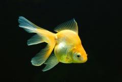 Goldfish. Chinese gold-white goldfish in aquarium Royalty Free Stock Photography