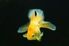 Goldfish. Chinese gold-white goldfish in aquarium Royalty Free Stock Photo