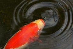 Goldfish Stock Photos