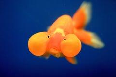 Goldfish closeup. A beautiful goldfish close up Stock Photo