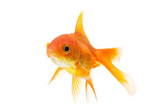 Goldfish closeup isolated on white Royalty Free Stock Photos