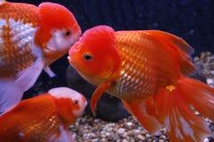 Goldfish closeup in water Stock Images