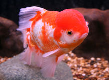 Goldfish closeup in water Royalty Free Stock Photo