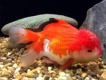Goldfish closeup Royalty Free Stock Photo
