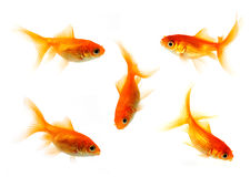 Goldfish collection Stock Image