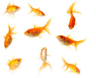 Goldfish collection Royalty Free Stock Photography