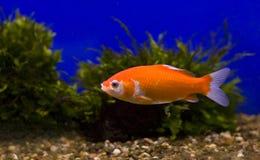 Goldfish com um fundo azul fotos de stock