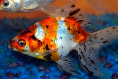 Goldfish d'animal familier Photos libres de droits