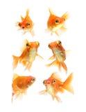 Goldfish d'isolement sur le fond blanc photographie stock