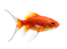 Goldfish d'isolement sur le fond blanc Photos stock