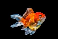 Goldfish d'isolement sur le fond noir Photos libres de droits