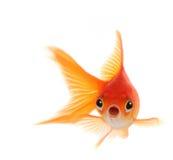 Goldfish dado una sacudida eléctrica aislado en el fondo blanco Imagen de archivo