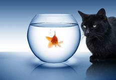 Goldfish in danger. With black cat royalty free stock images