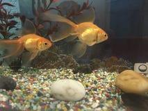 Goldfish dans l'aquarium Image libre de droits