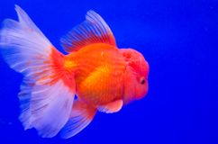 Goldfish dans l'aquarium Image stock