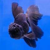 Goldfish dans l'aquarium Photographie stock libre de droits