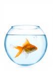 Goldfish dans l'aquarium Photo stock