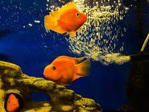 Goldfish dans l'aquarium Poissons dans le château photos stock