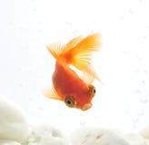 Goldfish dans le fishbowl photo stock
