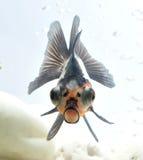 Goldfish dans le fishbowl photographie stock