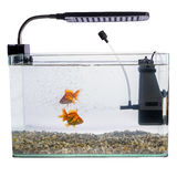 Goldfish in a daylight aquarium. Goldfish in a daylight fish tank aquarium Royalty Free Stock Photos