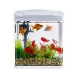 Goldfish in a daylight water tank (aquarium) Royalty Free Stock Photo