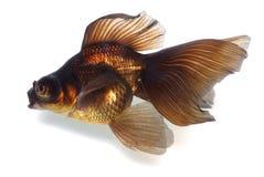 Goldfish de Brown no branco com máscara Imagens de Stock