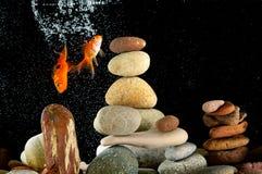 Goldfish de couples dans l'aquarium Image libre de droits
