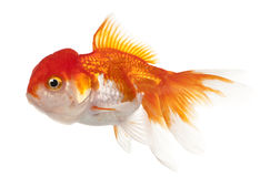 Goldfish de Lionhead, auratus do Carassius Imagens de Stock Royalty Free