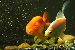Goldfish de lujo Foto de archivo libre de regalías