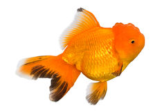 Goldfish de Oranda Fotos de archivo