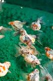 Goldfish de Pearlscale Images libres de droits