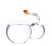 Goldfish de salto Foto de Stock Royalty Free