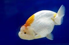 Goldfish de tête de lion de Ranchu dans le réservoir de poissons Photo libre de droits
