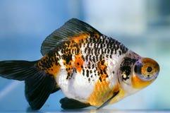 Goldfish del girante laterale dell'occhio del drago Fotografie Stock Libere da Diritti